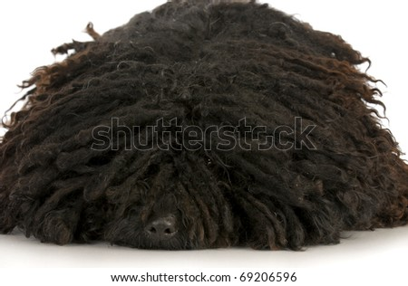 corded puli - hungarian herding dog laying down with reflection on white background - stock photo