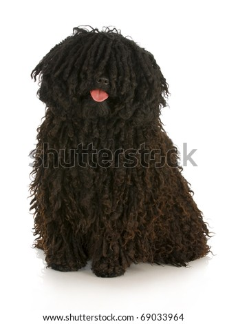 corded puli - hungarian herding dog with reflection on white background - stock photo