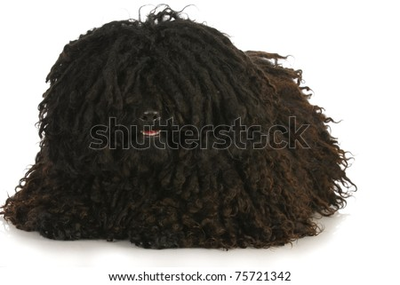corded puli laying down on white background - stock photo