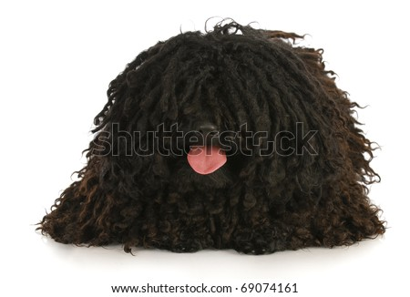 corded puli panting - hungarian herding dog laying down on white background - stock photo
