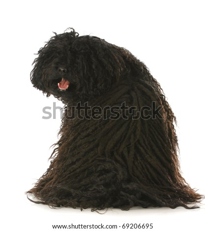 corded puli sitting with back to viewer looking over shoulder with reflection on white background - stock photo