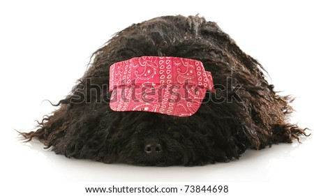 corded puli wearing red hat laying down on white background - stock photo