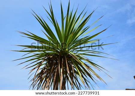 Cordyline australis (Cabbage Tree) crown against blue sky - stock photo