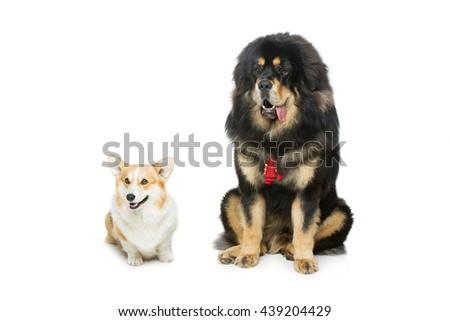 Corgi and mastiff dogs - stock photo
