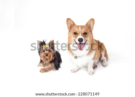 Corgi dog and Yorkshire Terrier dog - stock photo
