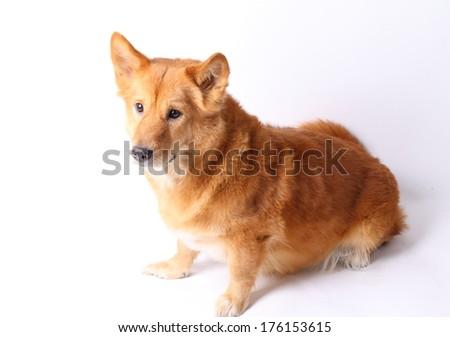Corgi dog in studio on the white background - stock photo
