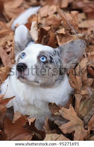 Corgi playing in leaves - stock photo