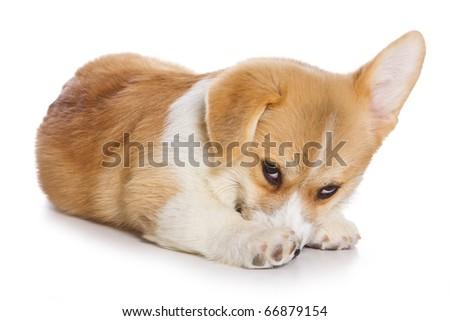 Corgi puppy on white background - stock photo
