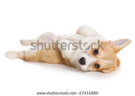 Corgi puppy on white background - stock photo