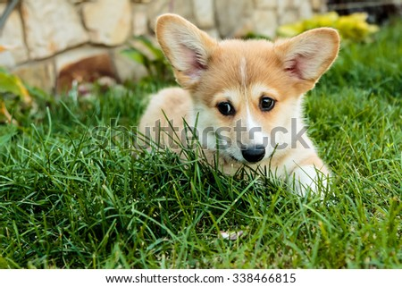 Corgi puppy spying on the grass