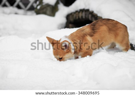 Corgi puppy walks in the park on snow in the winter
