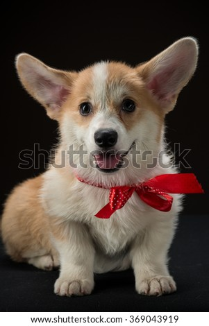 Corgi puppy with a red bow sitting against black background - stock photo