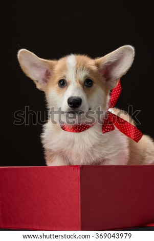 Corgi puppy with a red bow sitting in a gift box - stock photo