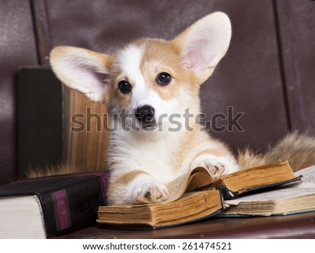 Corgi reading a book