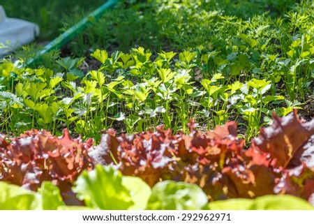 Coriander (Coriandrum sativum), also known as cilantro, Chinese parsley or dhania, is an annual herb in the family Apiaceae. Vegetable garden.  Household plot. Dacha. - stock photo