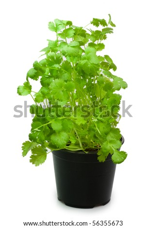 Coriander in a pot - isolated on white background - stock photo