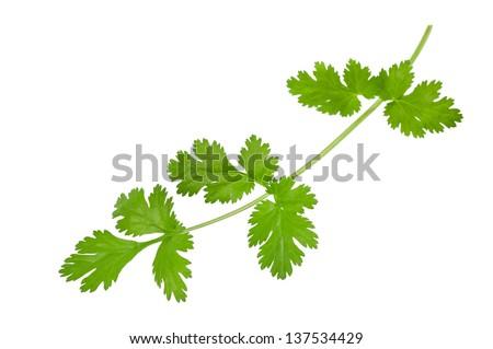 Coriander sprig isolated on white - stock photo
