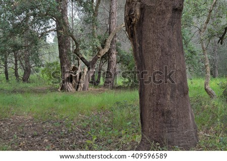 Cork extraction and cork oak trees in Portugal
