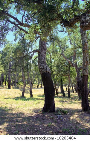 Cork oak trees in the French Riviera which have been stripped for production of wine bottle corks. The trees are now protected by law. - stock photo
