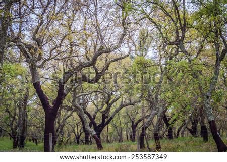 Cork trees forest in Alentejo region in Portugal - stock photo