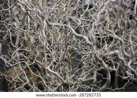 Corkscrew Bush  closeup - stock photo