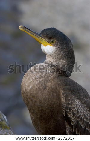 cormorant - stock photo