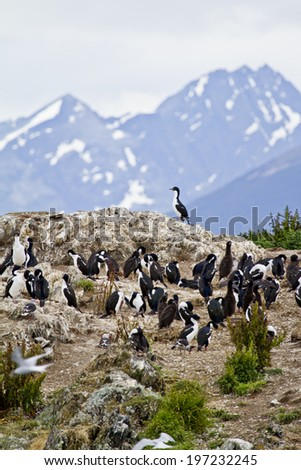Cormorant Colony On An Island In The Beagle Channel - Tierra del Fuego - Argentina - Chile - Travel Destination / Birds - Cormorant Colony - stock photo