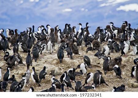 Cormorant Colony On An Island In The Beagle Channel - Tierra del Fuego - Argentina - Chile - Travel Destination / Birds - Cormorant Colony - stock photo