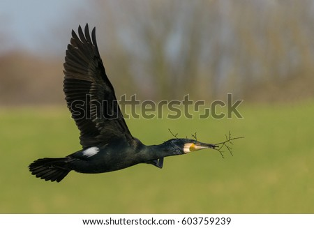 Cormorant in flight with nesting material.