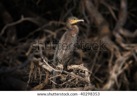 cormorant in nocturne background Phalacrocorax carbo - stock photo
