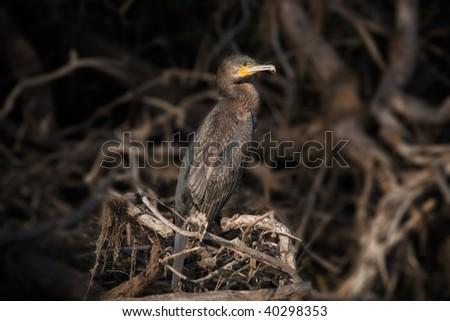 cormorant in nocturne background Phalacrocorax carbo - stock photo