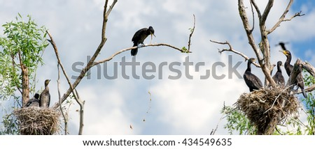 Cormorant nests in a tree and vomiting in Danube Delta - stock photo
