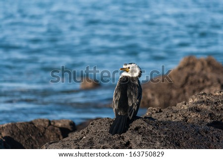 cormorant sitting on volcanic rocks