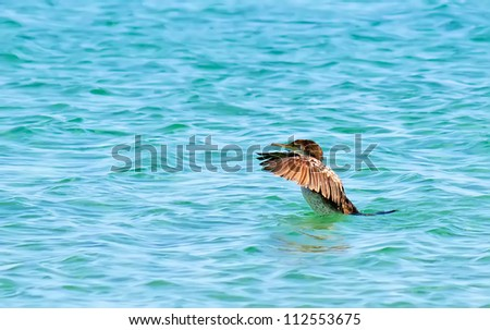 cormorant taking off from the water - stock photo
