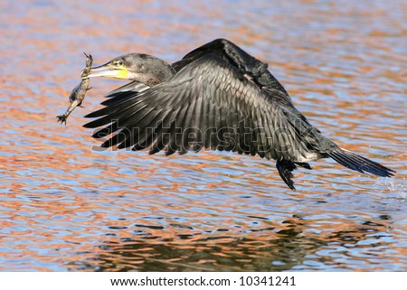 Cormorant with it's catch - stock photo