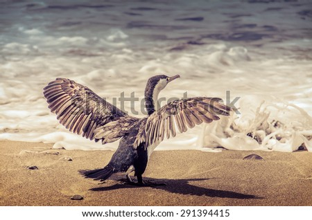 Cormorant  with spread wings in front of Pacific ocean. - stock photo