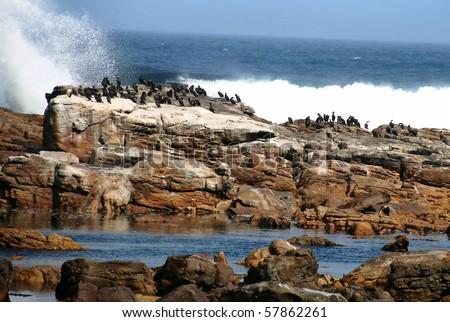 cormorants at Cape Peninsula - stock photo