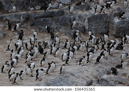 cormorants from patagonia