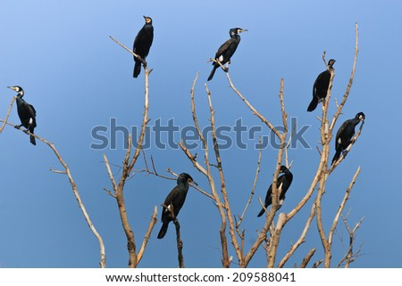 cormorants (phalacrocorax carbo) in a tree, Danube Delta, Romania