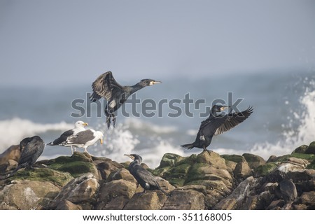 Cormorants, Phalacrocorax carbo, taking off from a rock