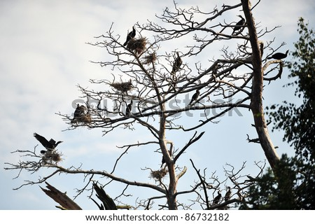 Cormorants roosting on a branch of a dead tree on background  evening sky