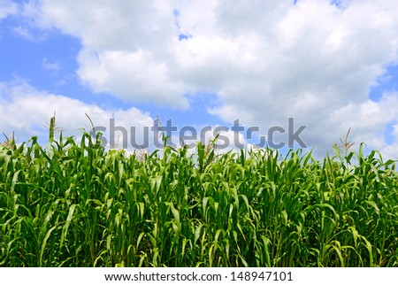 Corn against the sky