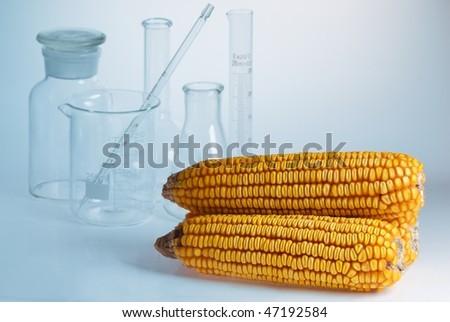 corn and laboratory glass for scientific experiment. - stock photo