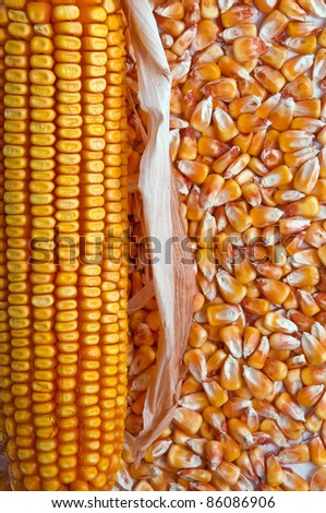 Corn cob and kernels as agriculture background, top view - stock photo