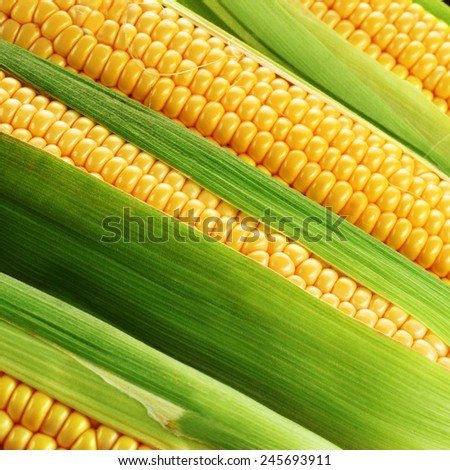 corn cob between green leaves - stock photo