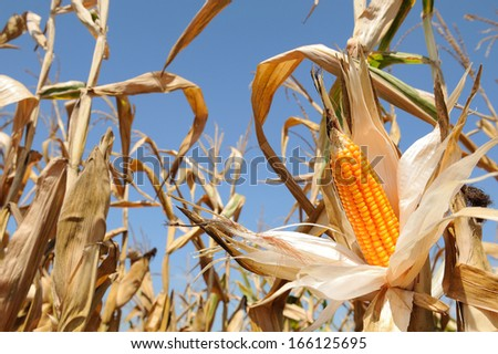 Corn cob  yellow and ripe - stock photo