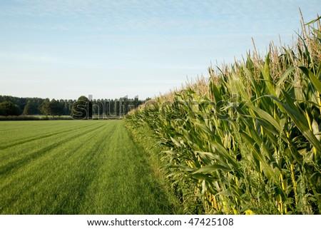 corn cornfield - stock photo
