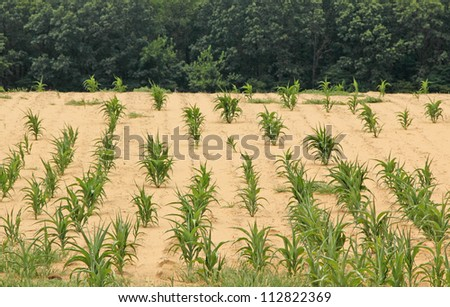 Corn crop in a parched farm field - stock photo