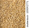 Corn crop  Ready for animal feed - stock photo