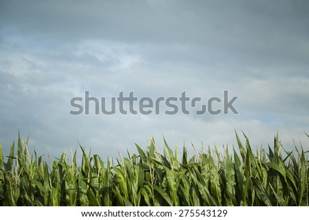 Corn crop ready for harvest - stock photo